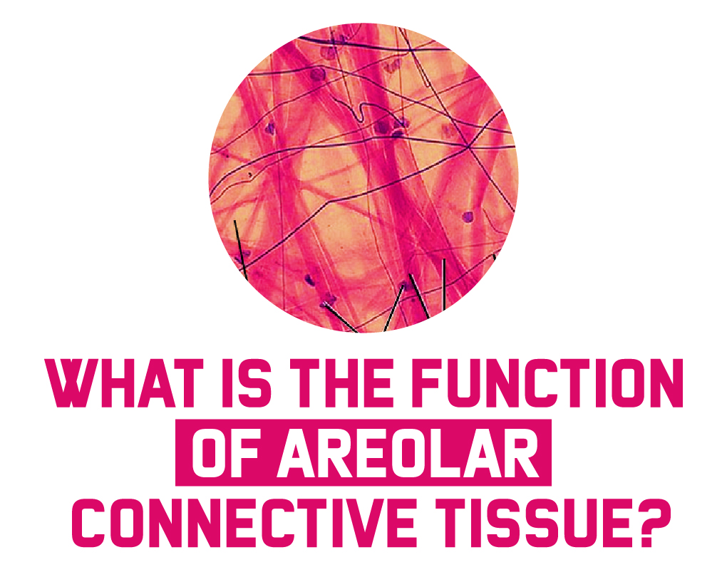 Areolar Connective Tissue Function