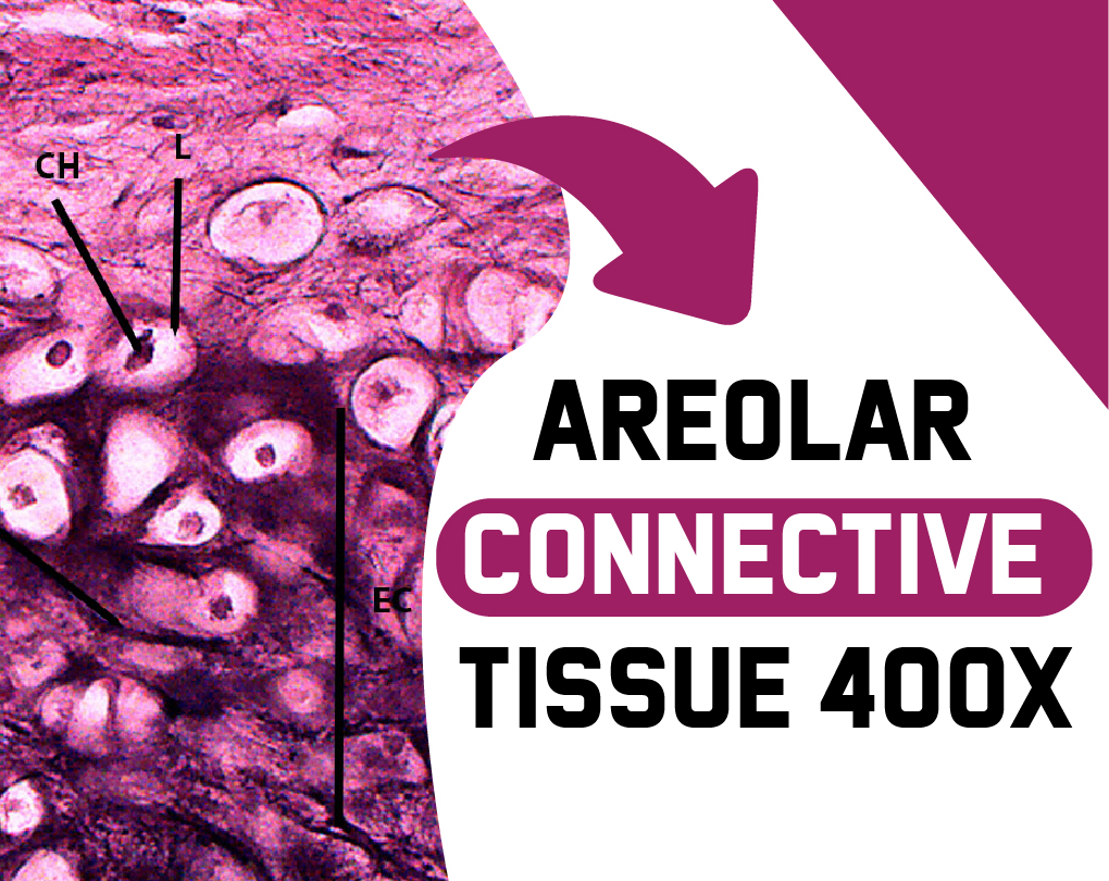Areolar Connective Tissue Location