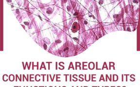 Remove term Areolar Connective Tissue Areolar Connective Tissue